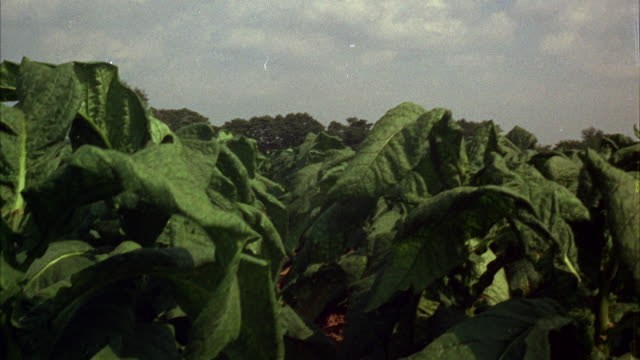 ms tu pan view of over huge tobacco field and farm   - tobacco crop stock videos & royalty-free footage