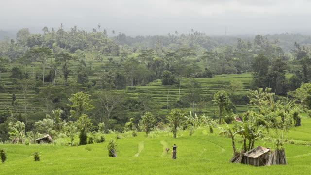 WS View of paddy field / Sidemen, Bali, Indonesia