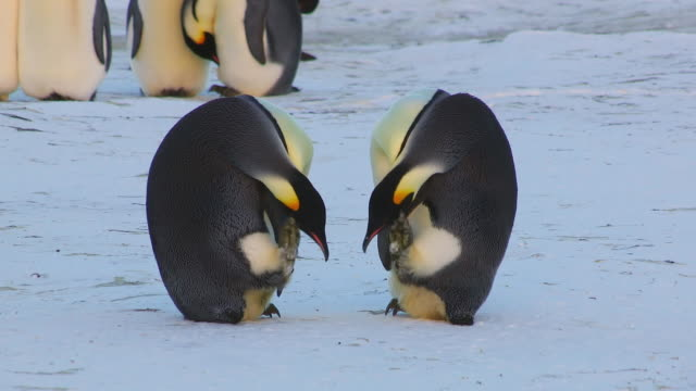 stockvideo's en b-roll-footage met ws view of pair of emperor penguins scratching heads with their feet facing each other to show group in back side  / dumont d'urville station, adelie land, antarctica - dierenverzorging