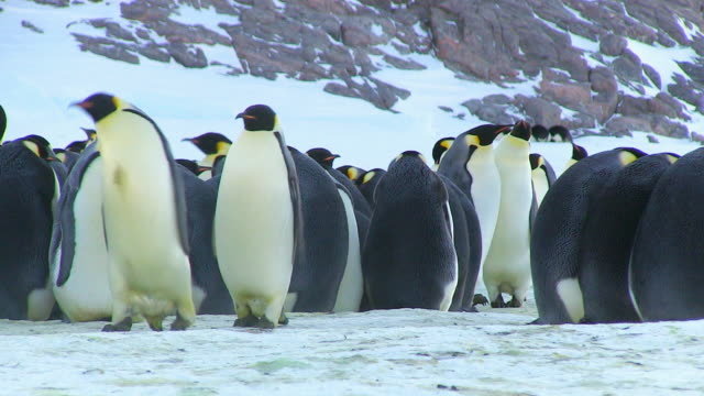 vidéos et rushes de ws ts view of pair of emperor penguins waddle dance left as they move through colony / dumont d'urville station, adelie land, antarctica - manchot