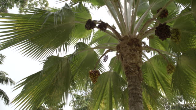 view of palm trees from below / grenada, caribbean - st. george's grenada stock videos and b-roll footage