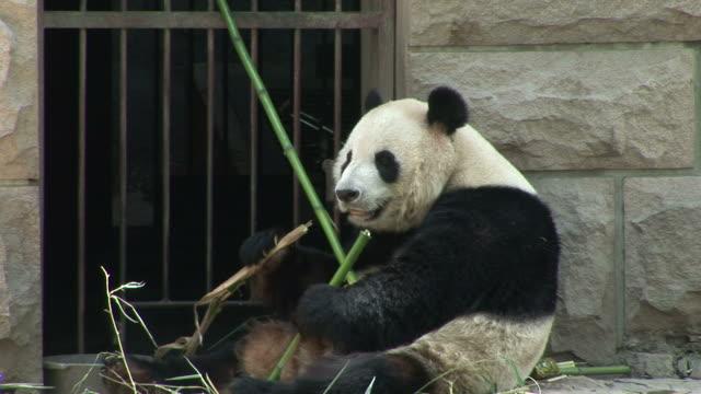 vidéos et rushes de view of panda in a zoo in beijing china - panda