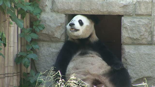 View of Panda in a zoo in Beijing China