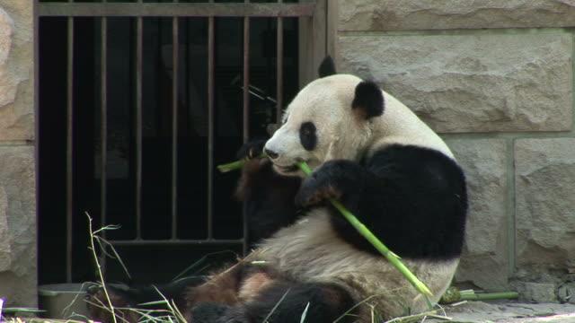 view of panda in a zoo of beijing china - 動物園点の映像素材/bロール