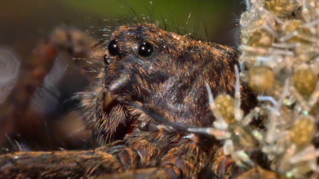 view of pardosa astrigera taking care of its larva in chuncheon, gangwon province, south korea - arachnid stock videos and b-roll footage