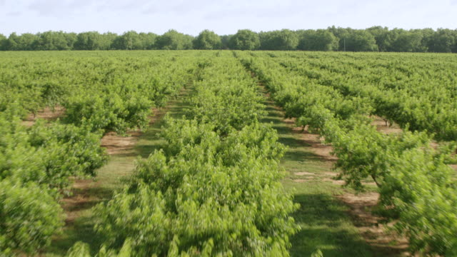 vídeos de stock, filmes e b-roll de ws aerial pov view of pearson peach farm / fort valley, georgia, united states - orchard