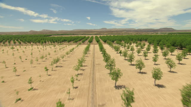 ws aerial view of pecan groves in dona ana county to reveal rio grande / new mexico, united states - orchard stock videos & royalty-free footage
