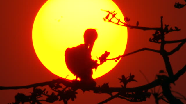 """""""MS View of Pelican silhouette in tree red sky sun filling / Assam, Golaghat, India"""""""
