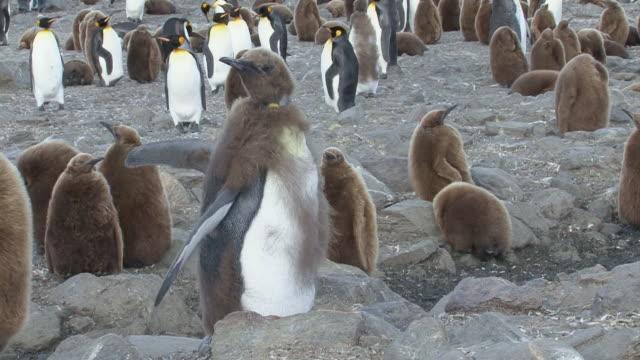 vídeos y material grabado en eventos de stock de ms view of penguin and chicks / south georgia island , sub-antarctic region , british territory, antarctica  - pingüino cara blanca