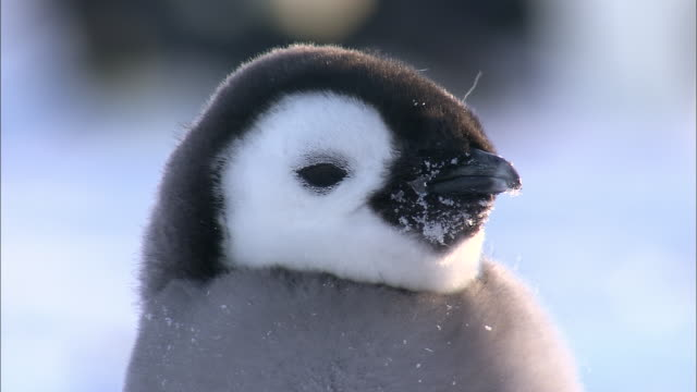 cu view of penguin chick head / riiser-larsen emperor penguin colony, queen maud land, antarctica - becco video stock e b–roll