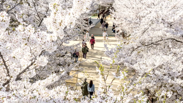 view of people going cherry-blossom viewing to seoul forest (premium city-park of korea) - south korea couple stock videos & royalty-free footage