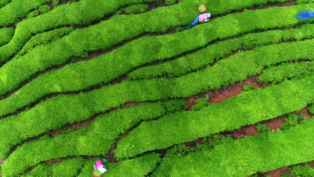view of people harvesting green tea in boseong, jeollanam-do, south korea - plantation stock videos & royalty-free footage