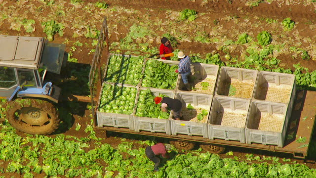 stockvideo's en b-roll-footage met ws aerial zo view of people loading cabbage in crates on trailer / werribee, victoria, australia - krat