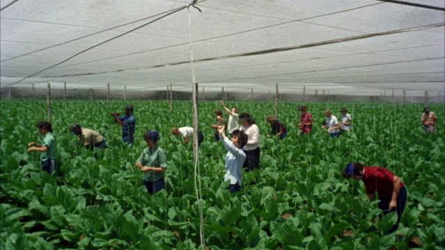 stockvideo's en b-roll-footage met ms view of people working in tobacco field - menselijke arm
