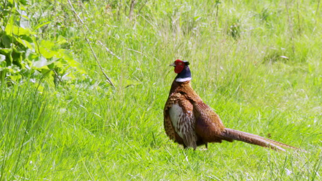 ms pan view of pheasant and peahen foraging in field / various, united kingdom - foraging stock videos & royalty-free footage