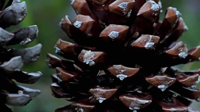 cu view of pine cone / mallorca, balearic islands, spain - pinecone stock videos & royalty-free footage