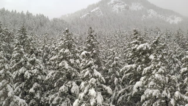 View of pine tree forest covered in snow moving from the tree tops