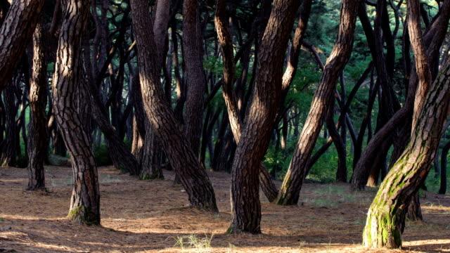 vídeos de stock e filmes b-roll de view of pine tree forest in samnung park (popular tourist attractions) - pine