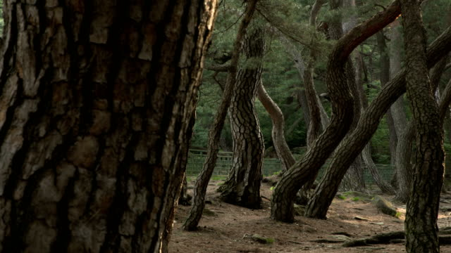 view of pine trees at a forest in gyeongju - pine tree stock videos & royalty-free footage