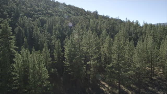 aerial a view of pine trees in a forest / frazier park, california, united states - kieferngewächse stock-videos und b-roll-filmmaterial