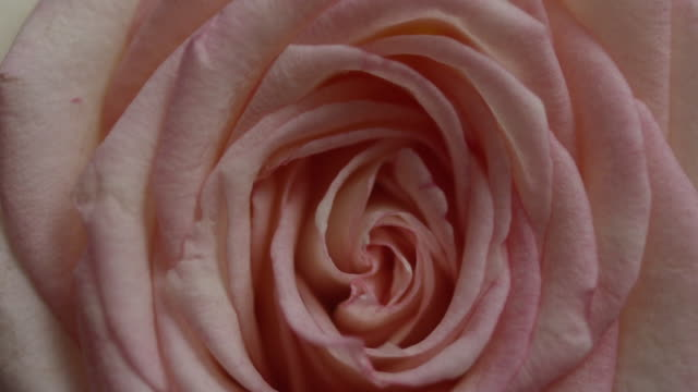 vidéos et rushes de view of pink rose spinning - rose