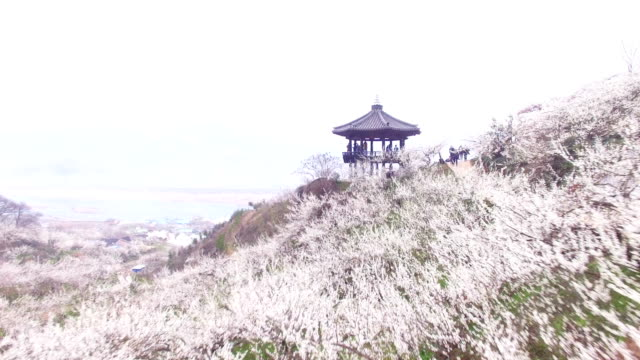 stockvideo's en b-roll-footage met view of plum blossom hill at maehwa village (tourist attraction for plum blossoms) and a gazebo - gazebo
