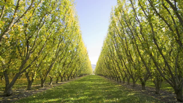 ws t/l view of plum trees with fallen leaves in orchard / cromwell, south island, new zealand - orchard stock videos & royalty-free footage