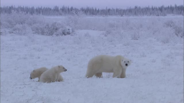 view of polar bear family on the snowfield in the arctic - ホッキョクグマ点の映像素材/bロール