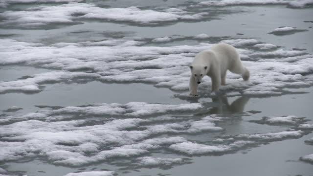 ws zo ts view of polar bear walking on ice / svalbard, spitsbergen, norway - climate change点の映像素材/bロール