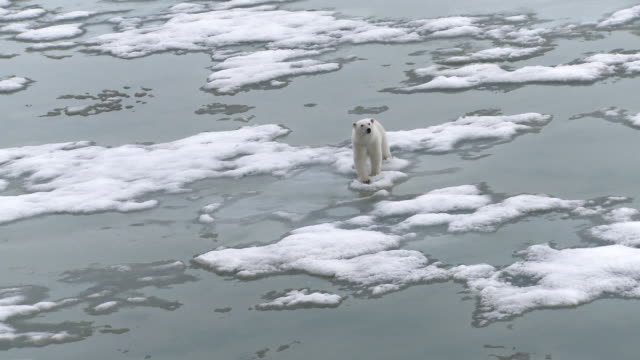 ws view of polar bear walking on ice / svalbard, spitsbergen, norway - greenhouse effect stock videos and b-roll footage