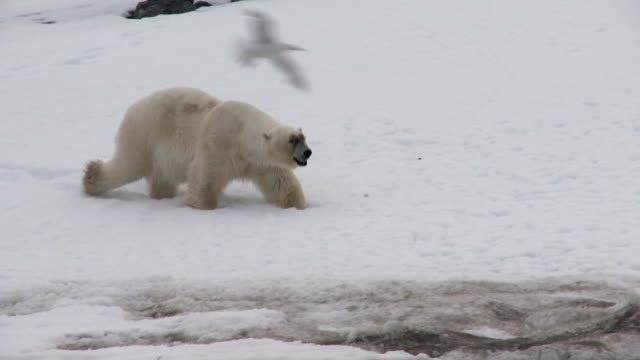 ws pan view of polar bear walking on ice towards flesh / svalbard, spitsbergen, norway - seal animal stock videos & royalty-free footage