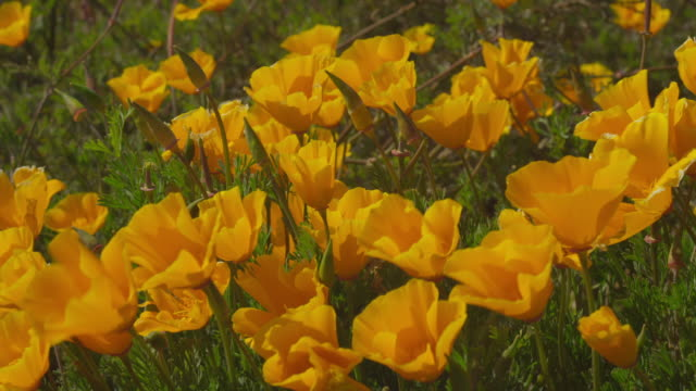 cu view of poppy flowers moving in wind / big sur, california, united states - オニゲシ点の映像素材/bロール