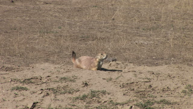 view of prairie dog in badlands national park south dakota united states - badlands national park stock videos & royalty-free footage