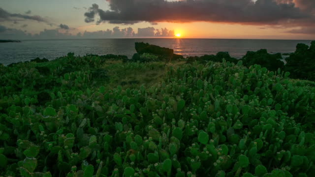 ws t/l view of prickly pear cactus in wolryung ridge at sunrise / jeju, jeju-do, south korea - prickly pear cactus stock videos & royalty-free footage