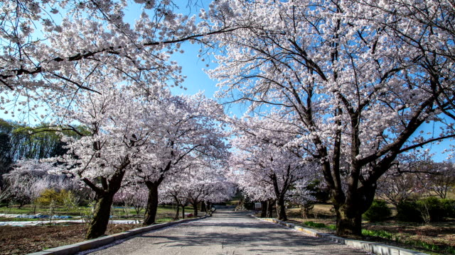 view of promenade with cherry blossom trees - treelined stock videos & royalty-free footage