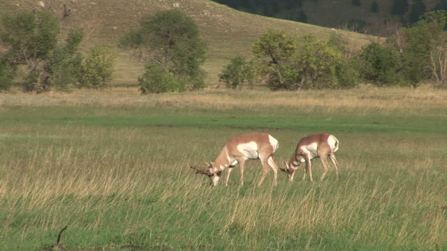 view of pronghorn antelope at custer state park in south dakota united states - カスター州立公園点の映像素材/bロール