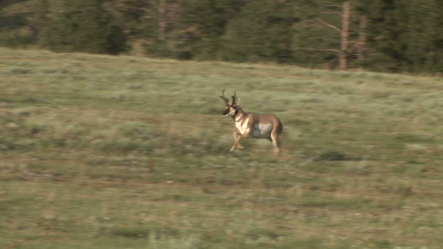 view of pronghorn antelope at custer state park in south dakota united states - custer staatspark stock-videos und b-roll-filmmaterial