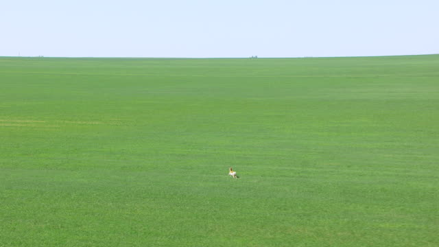 WS AERIAL TS ZI View of Pronghorn Antelope running through green field in Cimarron county / Oklahoma, United States