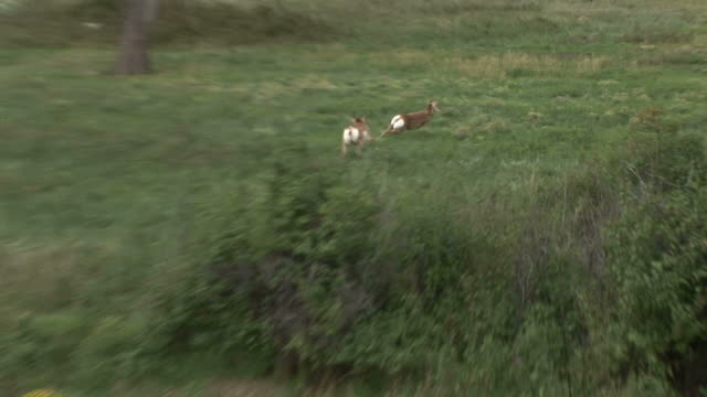 view of pronghorn antelopes at custer state park in south dakota united states - custer staatspark stock-videos und b-roll-filmmaterial