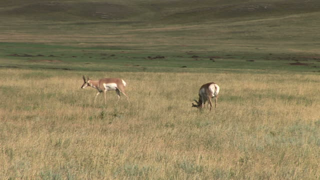 view of pronghorn antelopes at custer state park in south dakota united states - カスター州立公園点の映像素材/bロール