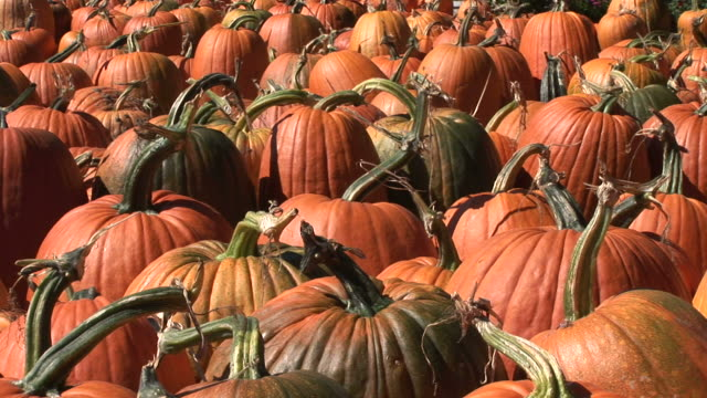View of pumpkins in Vermont United States