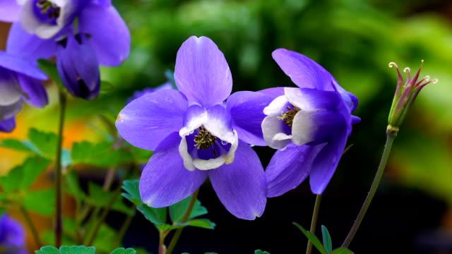 View of purple Aquilegia Flabellata Var. Pumila