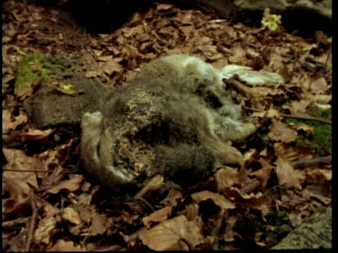 MS T/L view of Rabbit decomposing, United Kingdom