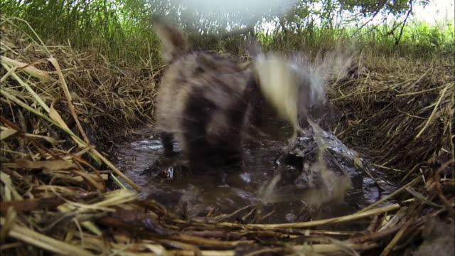 view of raccoon catching fish in water - struggle stock videos & royalty-free footage