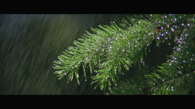 cu td view of rain falling on branch of pine tree - pine branch stock videos & royalty-free footage