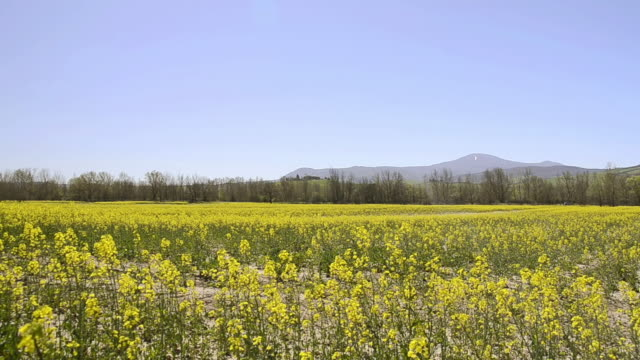 ws pan view of rape field in valley / pienza, tuscany, italy - tuscany stock videos & royalty-free footage