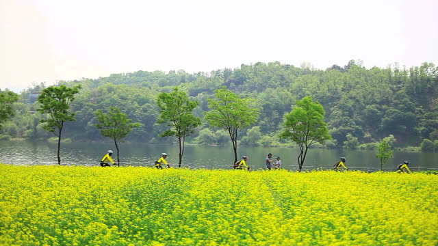ws view of rape flowers bed with bicycle riders riding in hangang riverside park (guri hangang rape flower festival) / guri, gyeonggi do, south korea - crucifers stock videos and b-roll footage