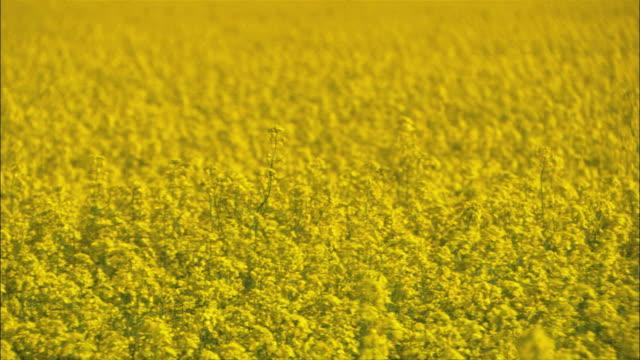 WS PAN View of rapeseed field / Visby, När, Ljugarn, Gotland, Sweden