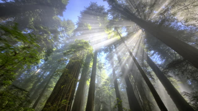 ws t/l view of rays of light in redwood forest / redwood national park, california, united states - inquadratura dal basso video stock e b–roll