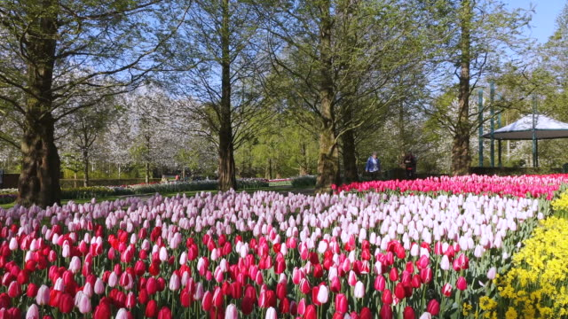 ws view of red and pink color tulip fields and people roaming at keukenhof gardens / lisse, south holland, netherlands - 枝 植物部分 個影片檔及 b 捲影像